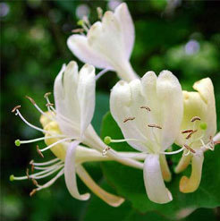 Honeysuckle Absolute Oil